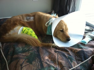 bella post surgery 2